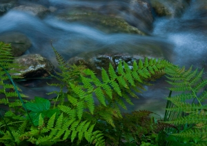 Fern and stream