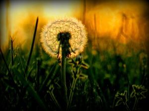 dandeliondaytime-color